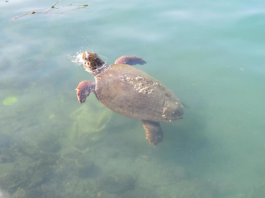Schildkröte im Mittelmeer