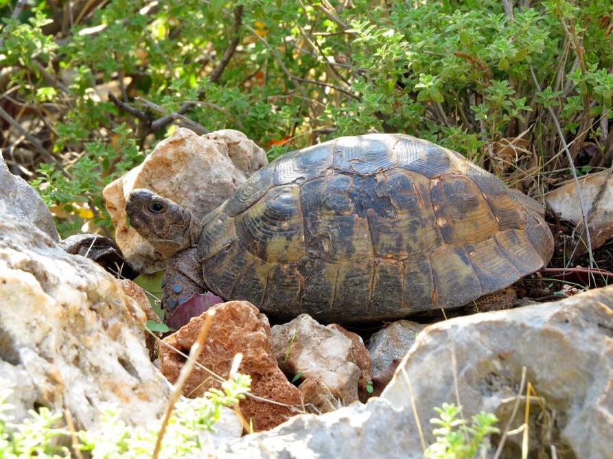 Landschildkröte, der Lykische Weg, Türkei