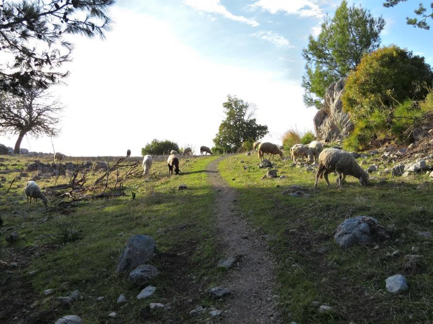 einsame Schafsherde