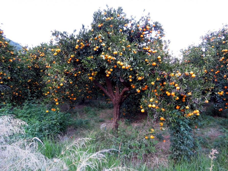 Orangenbaum am Straßenrand