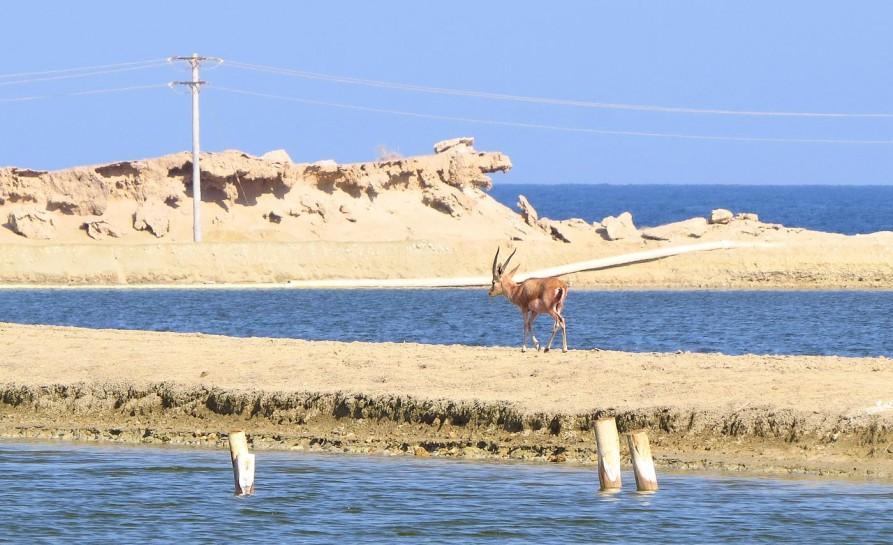 Gazelle am Strand