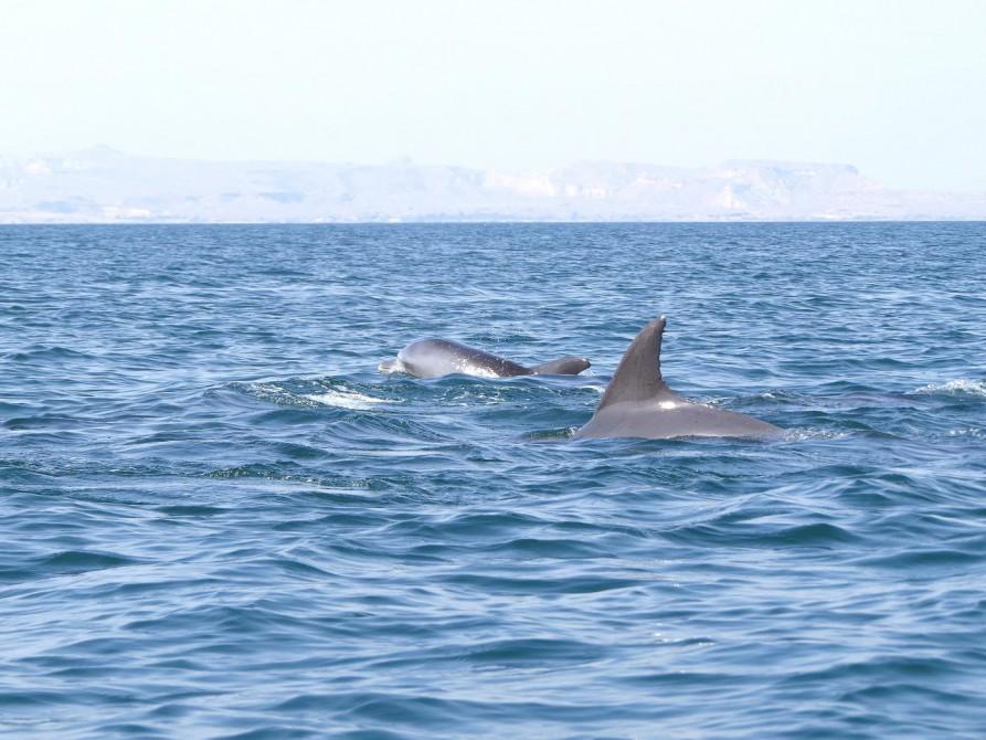 Delfine tummeln sich in der Straße von Hormus