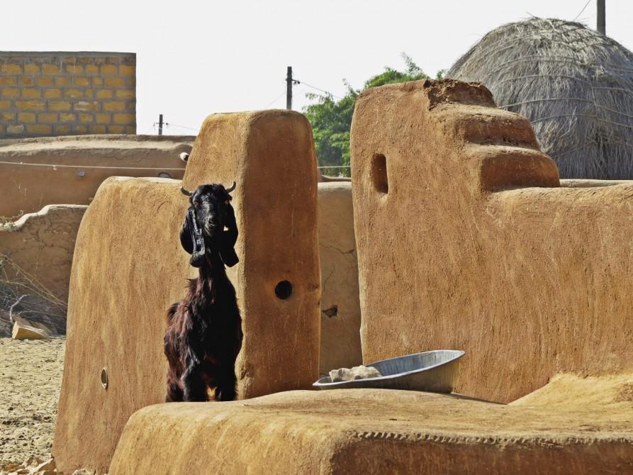 Dorfziege in Rajasthan