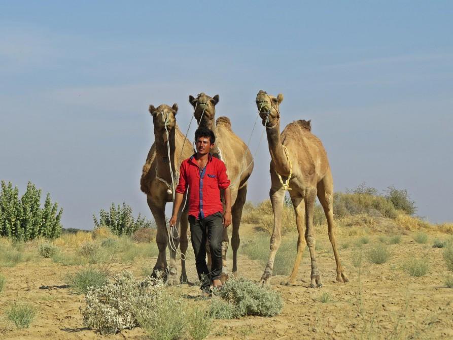 Kamele und ihr Treiber in Rajasthan