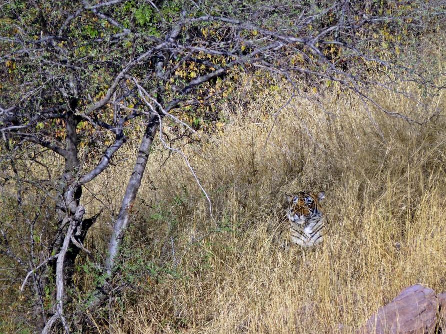 Tiger im Ranthambore Nationalpark