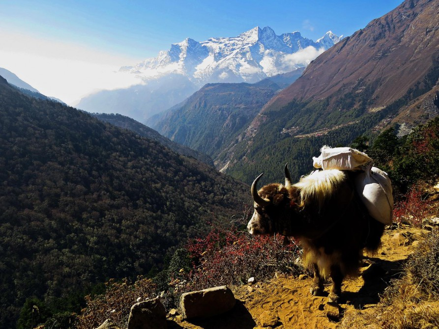 Yak auf dem Everest Base Camp Trek