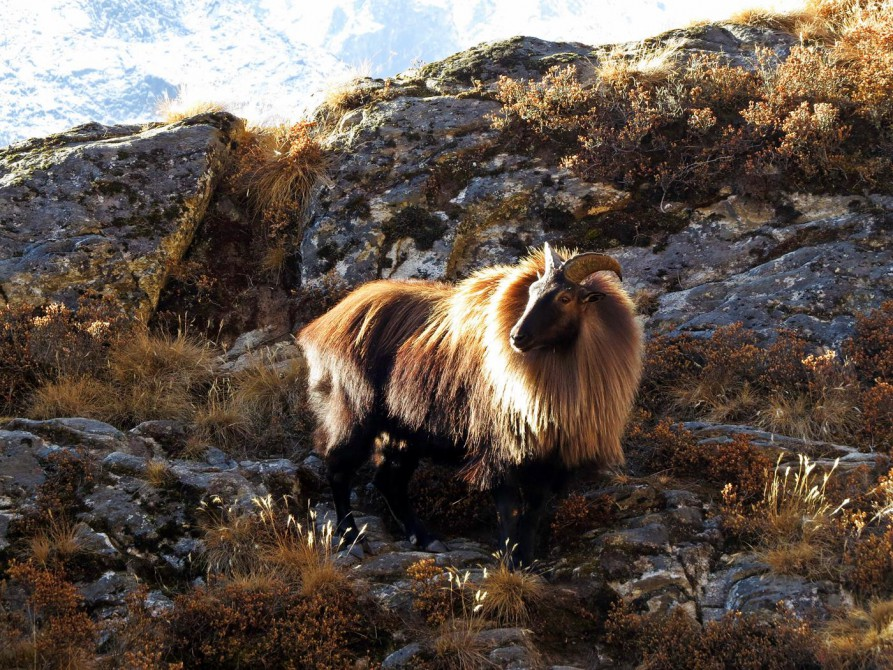 Himalaja-Tahr, Everest Base Camp Trek