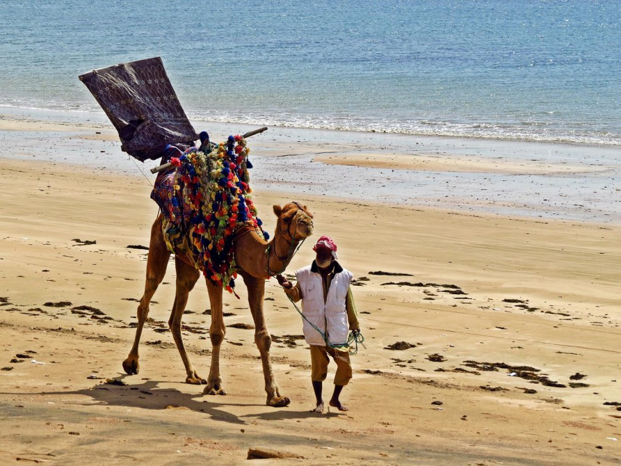 geschmücktes Kamel an der Hawks Bay