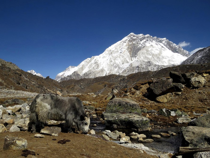 Nuptse, Yak, Everest Base Camp Trek, Himalaja