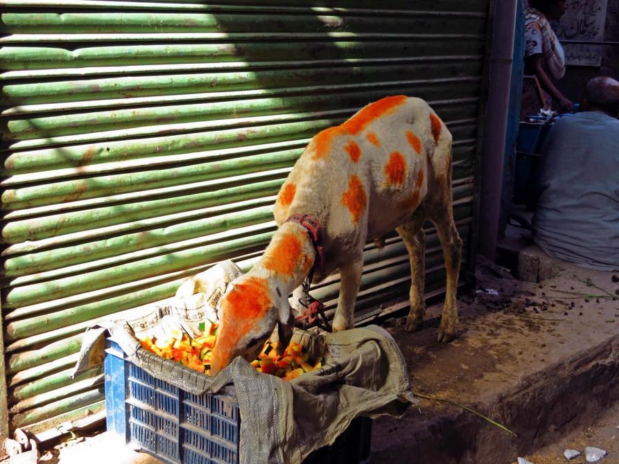 Ziege mit Hennaflecken frisst Melonenschalen