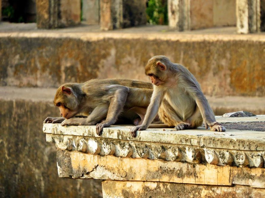 Affen in Bundi, Rajathan, Indien
