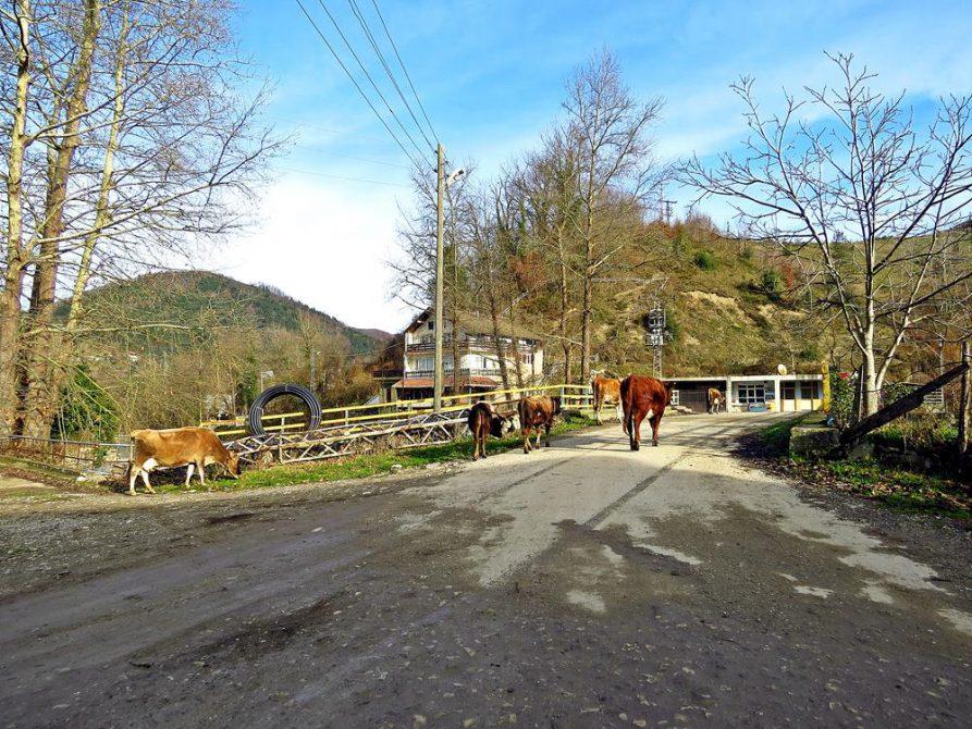 Kühe überqueren eine Brücke im Dorf Ayaz