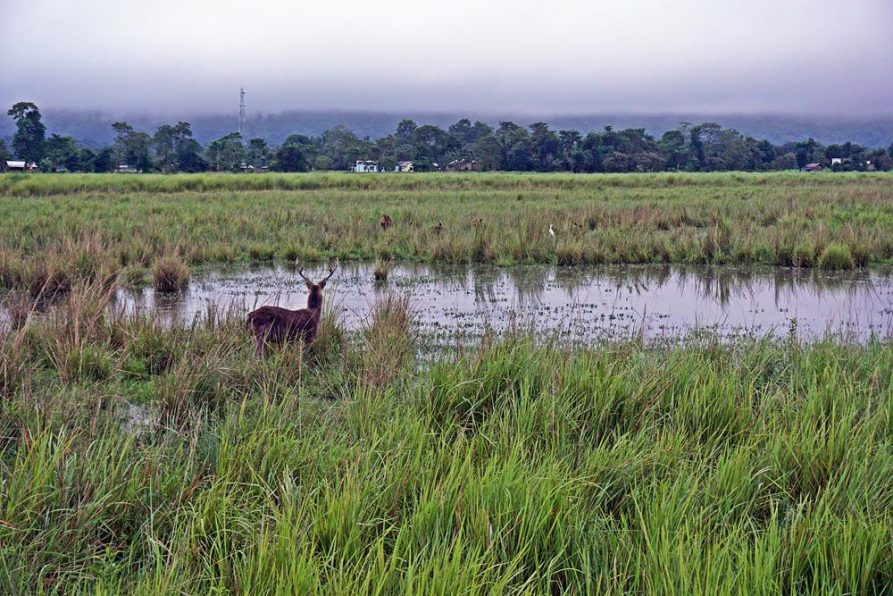 Hirsch am Wasserloch in der Steppe des Kaziranga Nationalparks