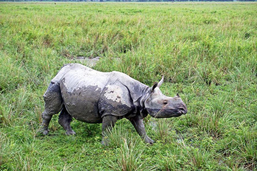 Kaziranga Nationalpark, Assam, Indien