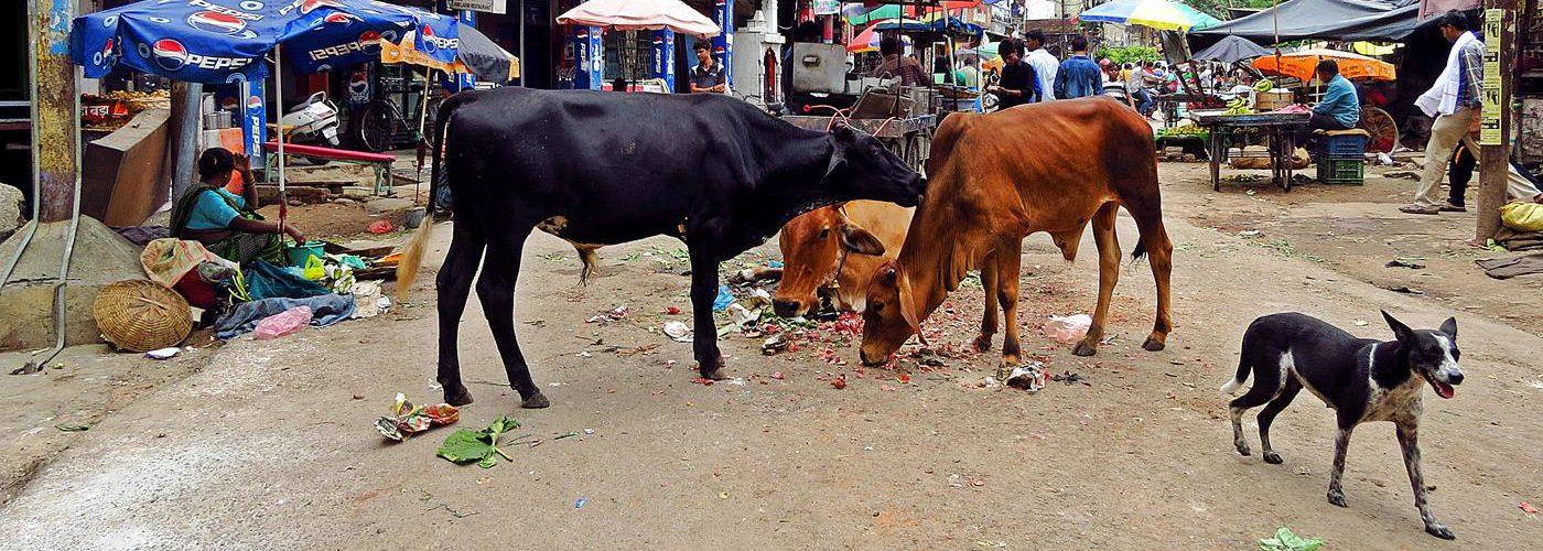 Indien, Kuriositäten, Kühe
