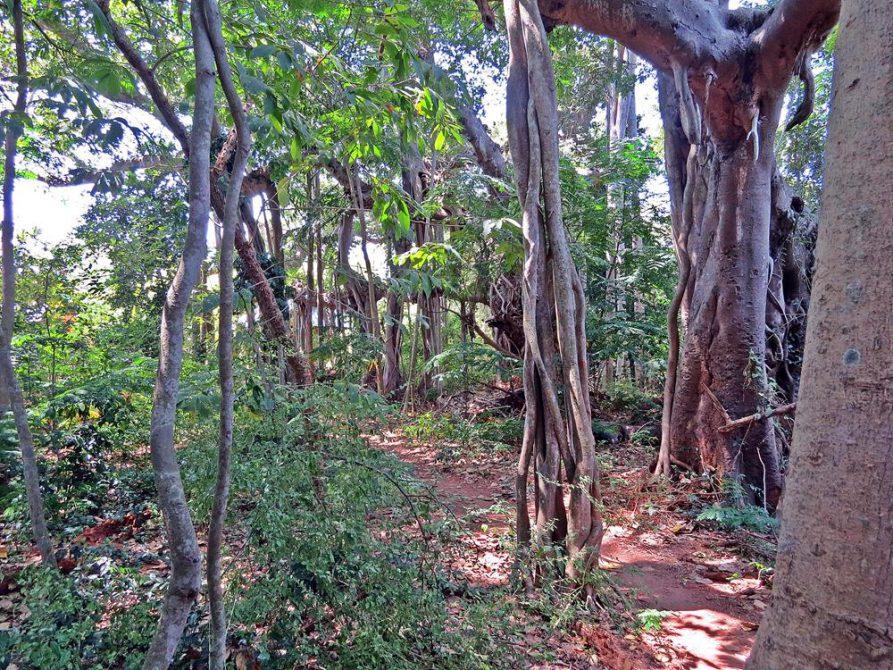 freie Wurzeln eines Bayanbaums in Auroville