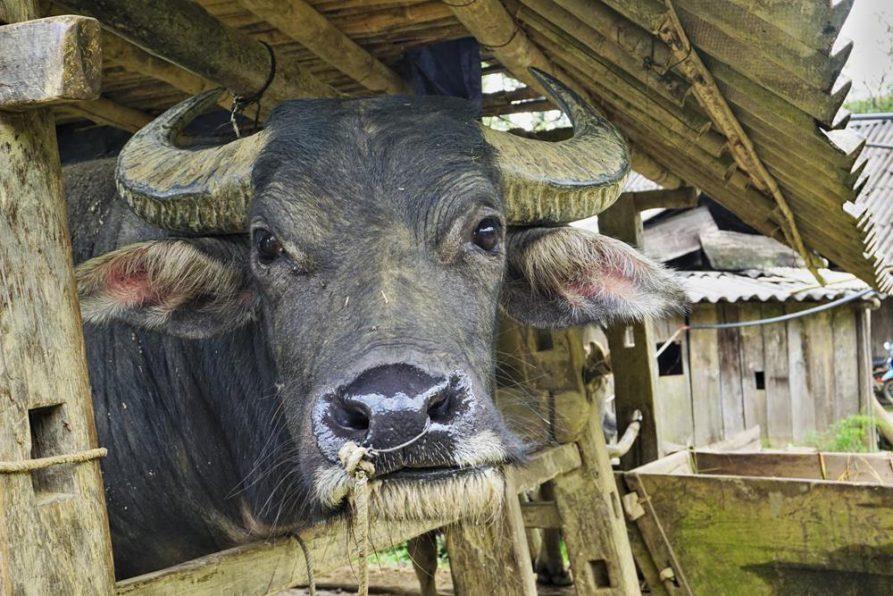 Sapa, Vietnam, Wasserbüffel