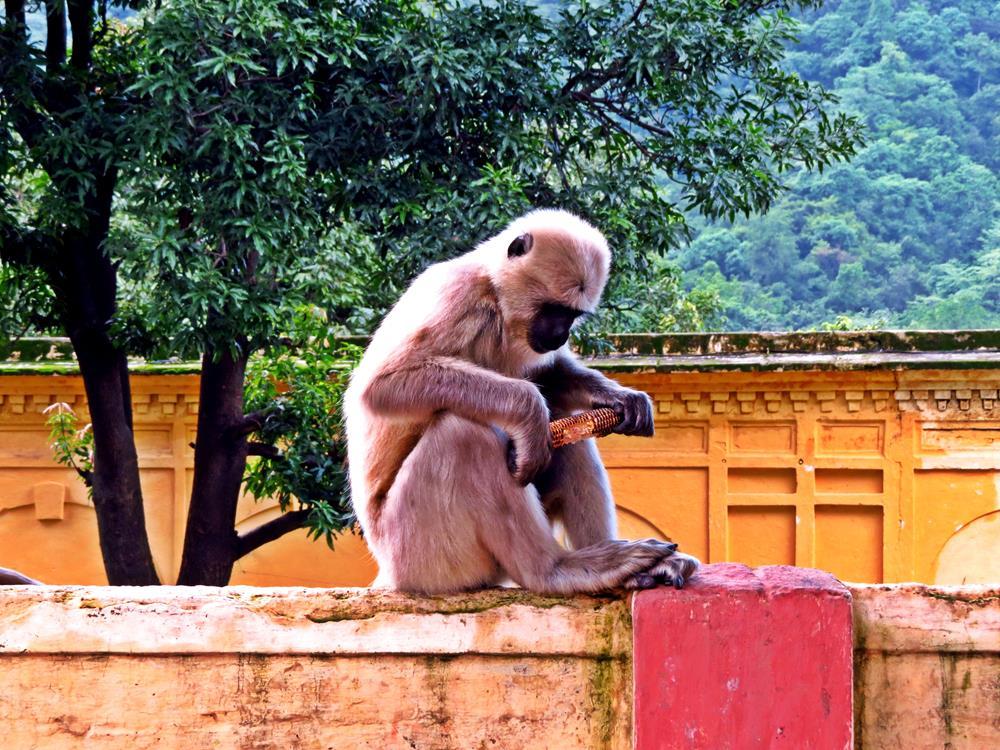 Hanuman-Languren, Rishikesh, Indien