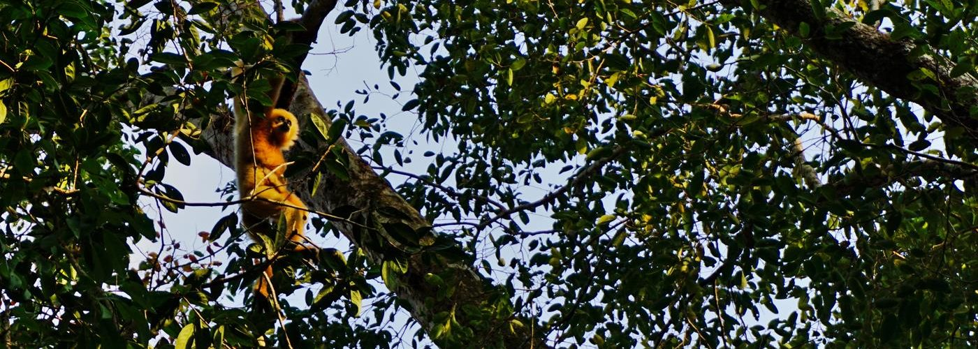 Gibbon, Ratanakiri, Kambodscha