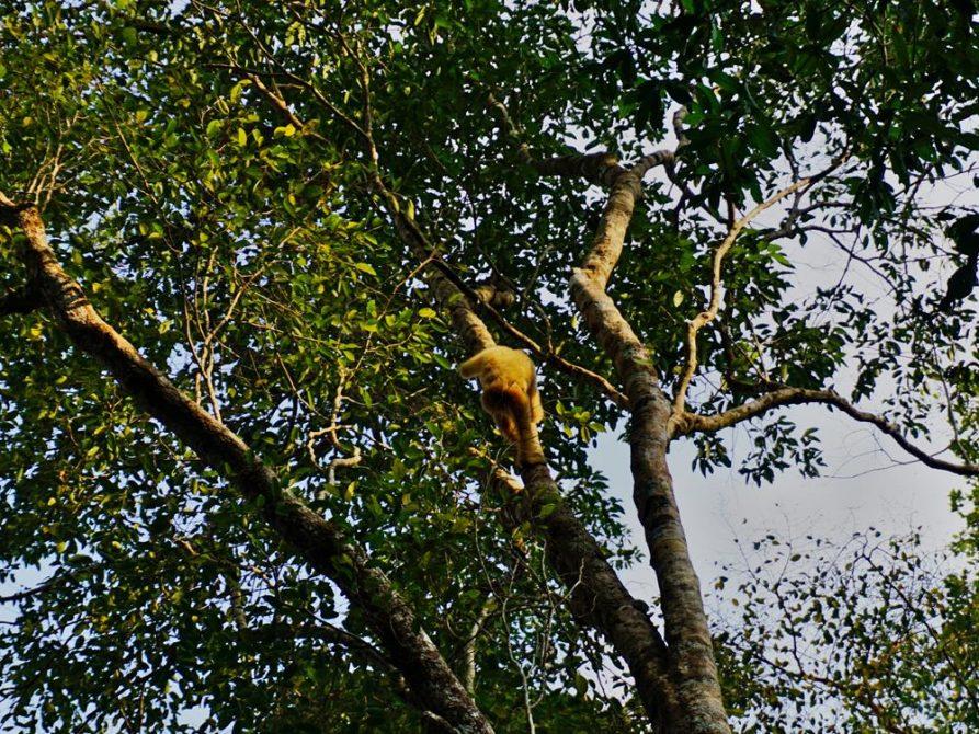 Gibbon, Vuen Sai Siem Pang, Ratanakiri, Kambodscha