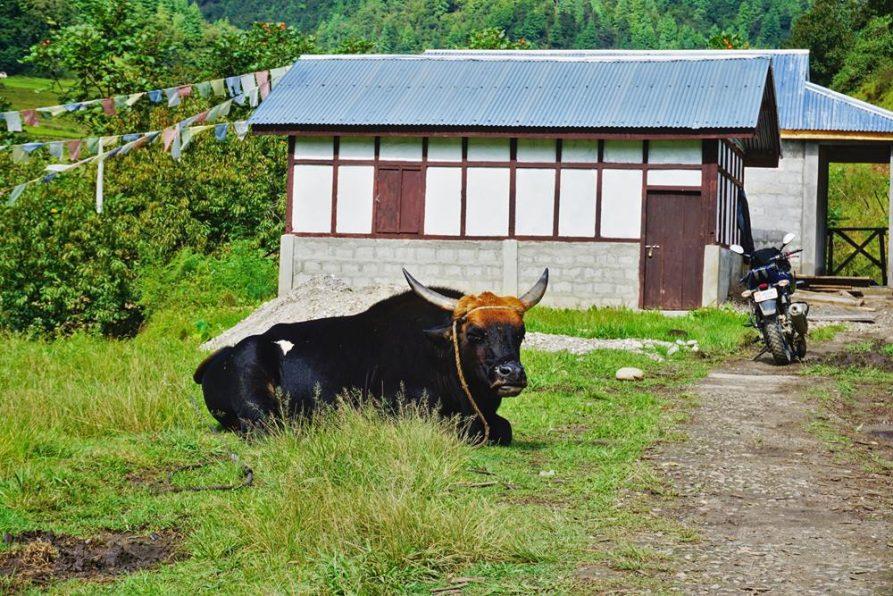 Mithunbulle döst im Morgenlicht, Sangti, Arunachal Pradesh
