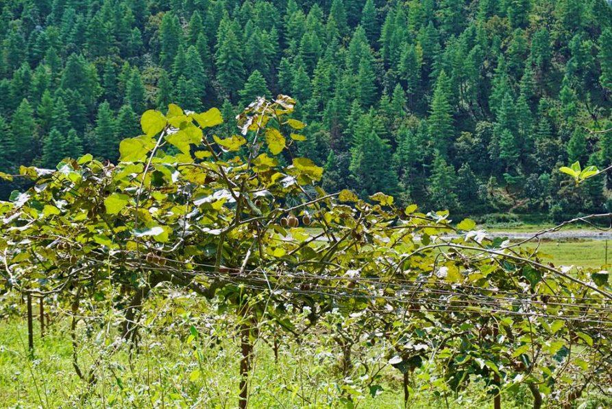 Kiwi, Sangti, Arunachal Pradesh