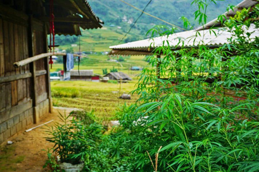 Hanfpflanzen in Lai Chao, Sapa