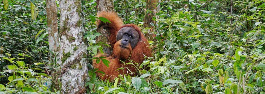 Die Orang-Utans im Gunung Leuser Nationalpark