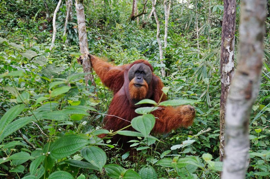 Orang-Utans im Gunung Leuser Nationalpark