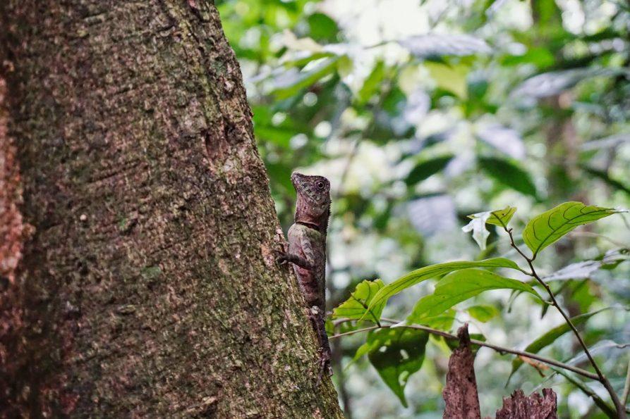 Echse im Gunung Leuser Nationalpark