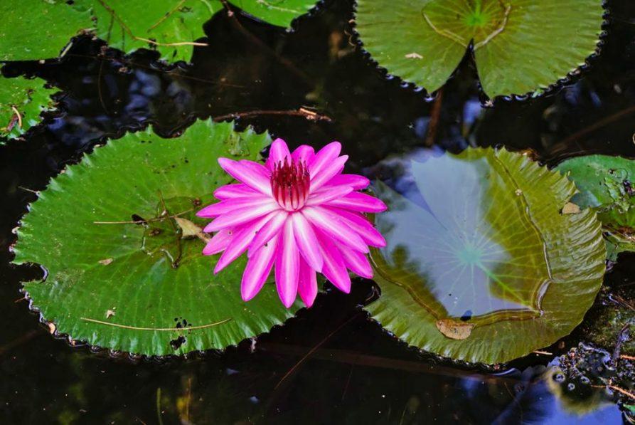 Lotusblütte im Teich