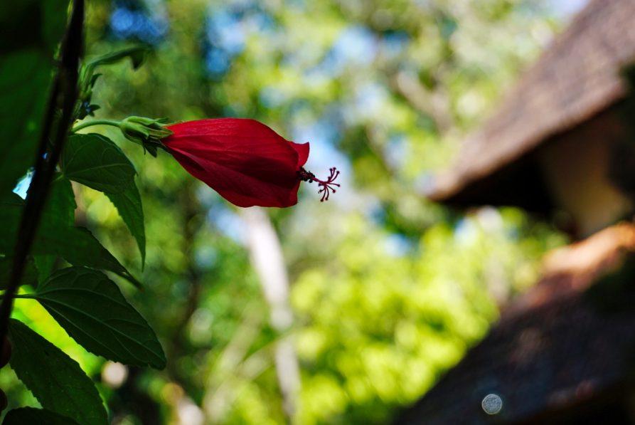 rote Blüte, Garten Kerala