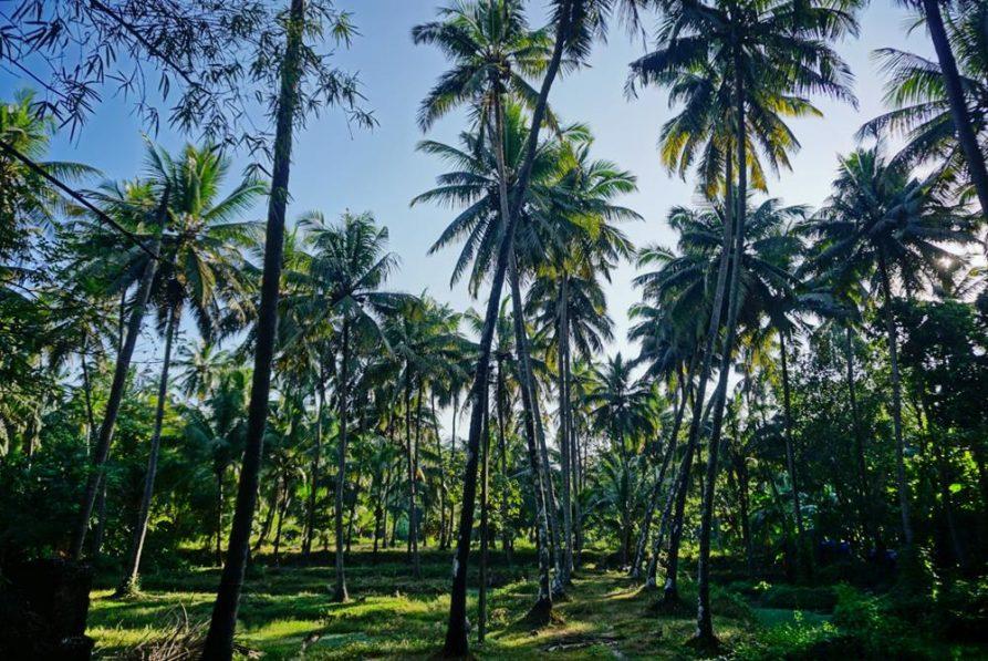 Palmen in Kerala