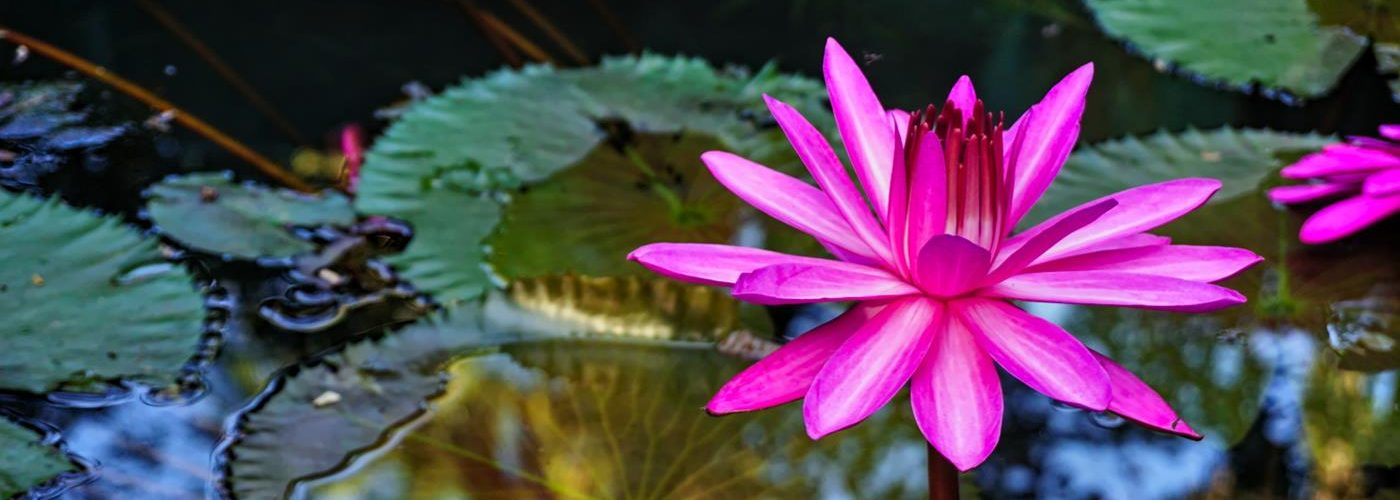 Lotusblüte, Ayurveda, Kerala