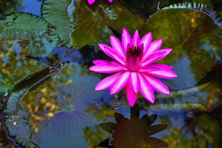 Lotusblüte im Wasser, Ayurverda, Kerala