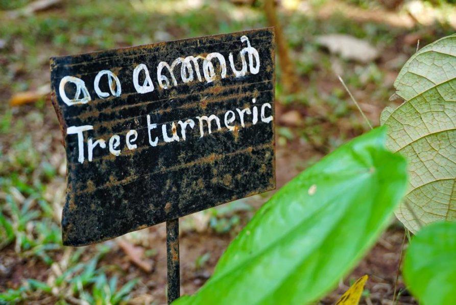 Kurkuma im Heilpflanzengarten