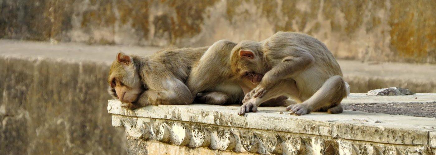 Bundi, Rajasthan, Languren, Indien