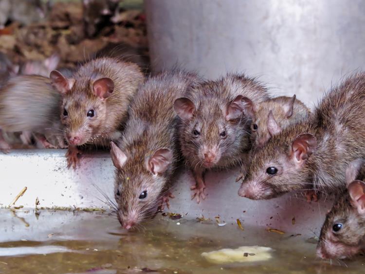 Ratten im Shri-Karni-Mata-Tempel, Deshnok, Bikaner, Rajasthan, Indien