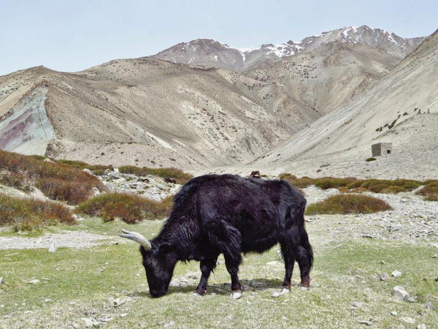 Yak, Markha Tal, Ladakh, Indien