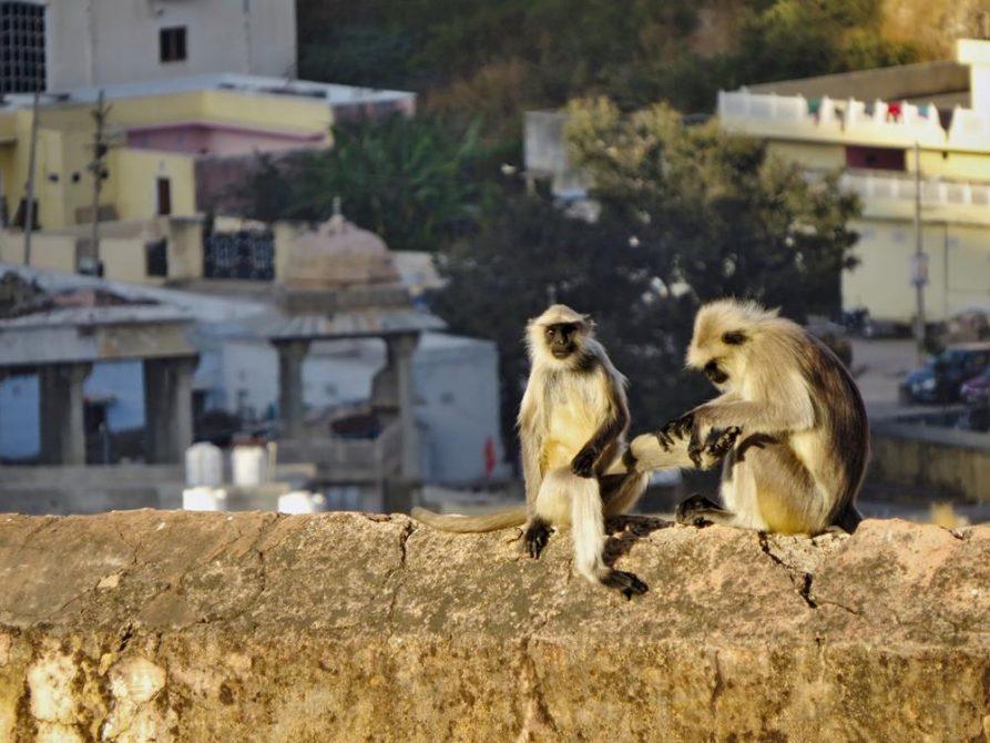 Affen in Jaipur, Rajasthan, Indien
