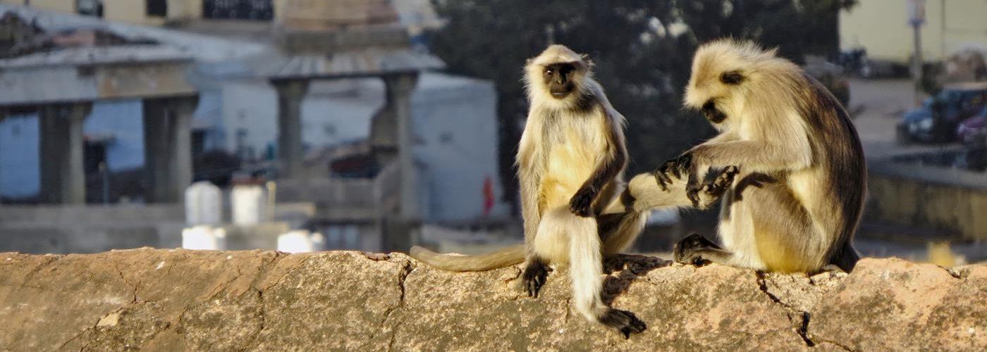 Affen in Jaipur, Hochzeit Rajasthan, Titel