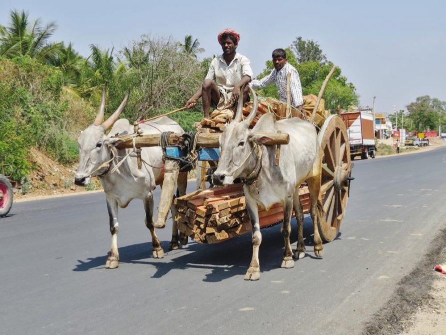 Ochsengespann in Karnataka, Indien