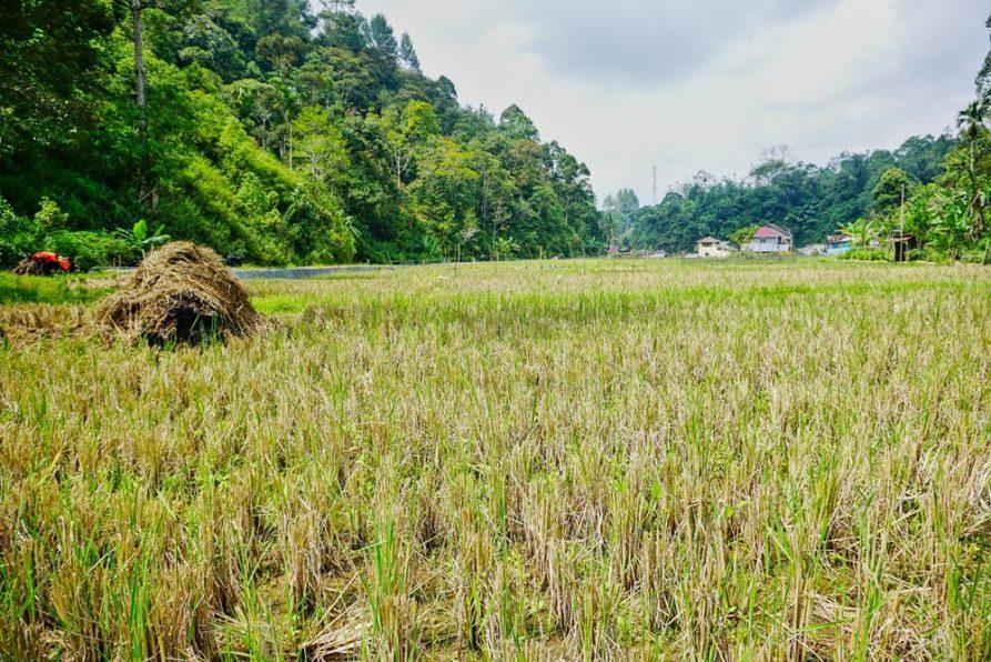Reisfelder, Sumatra, Indonesien
