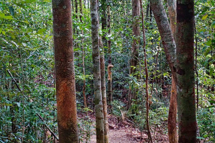 Riesenhörnchen im Taman Negara, Malaysia