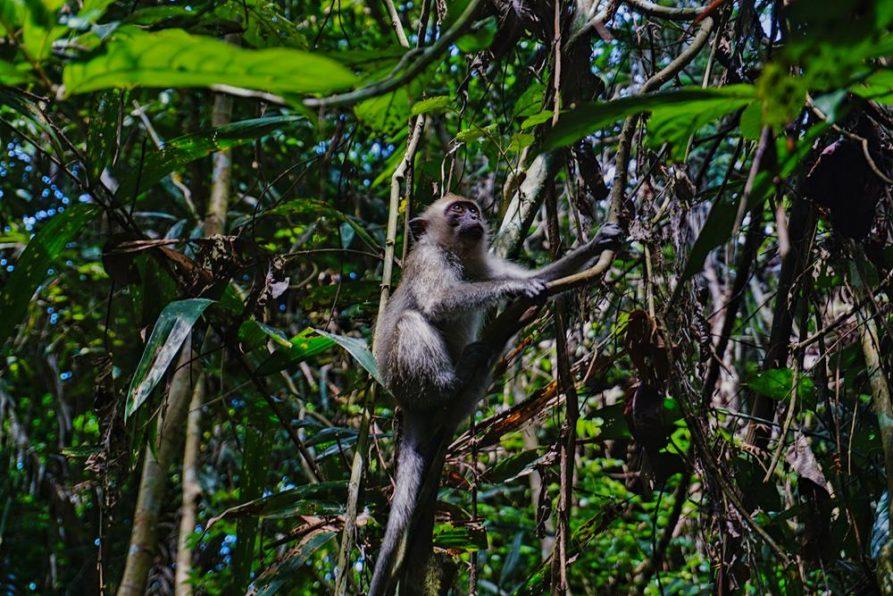 Makake im Taman Negera, Malaysia