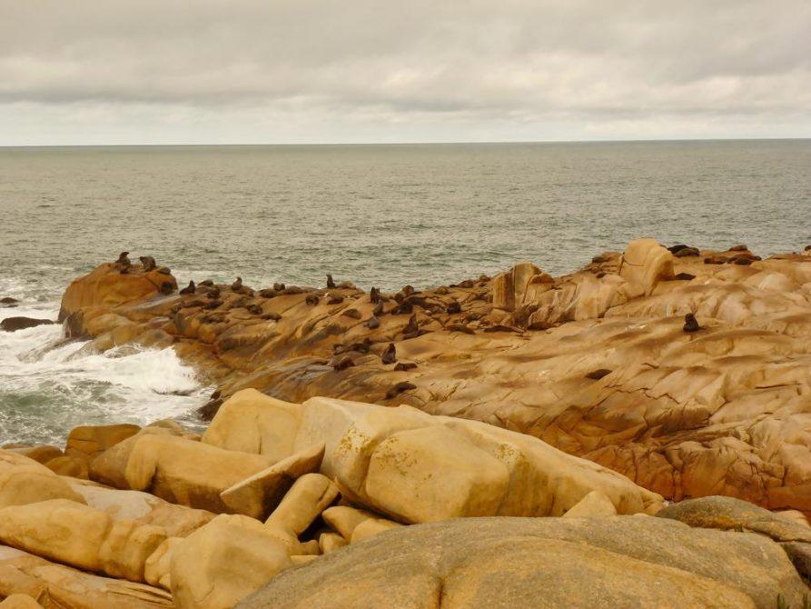 Seelöwen am Atlantik in Uruguay