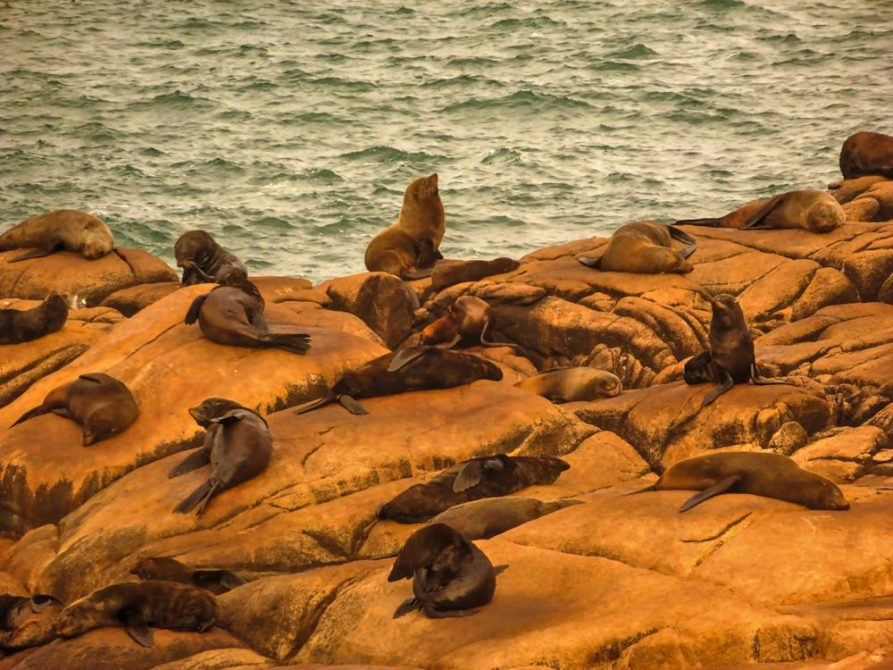 Seelöwenkolonie an Uruguays Atlantikküste