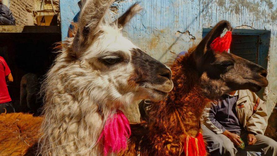Lamas in Potosi