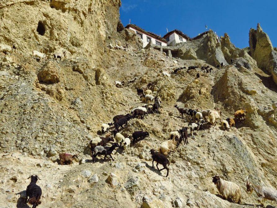 Ziegen und Schafe in Dhankar, Spiti