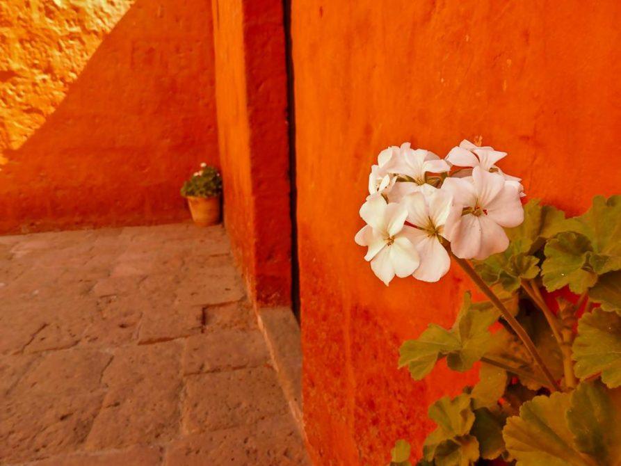 weiße Blüte vor roter Wand, Kloster Santa Catalina